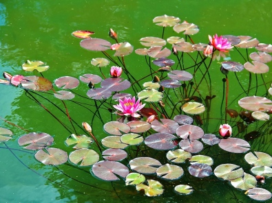 water_lilies_water_herbs_leaves_pond_43475_1400x1050