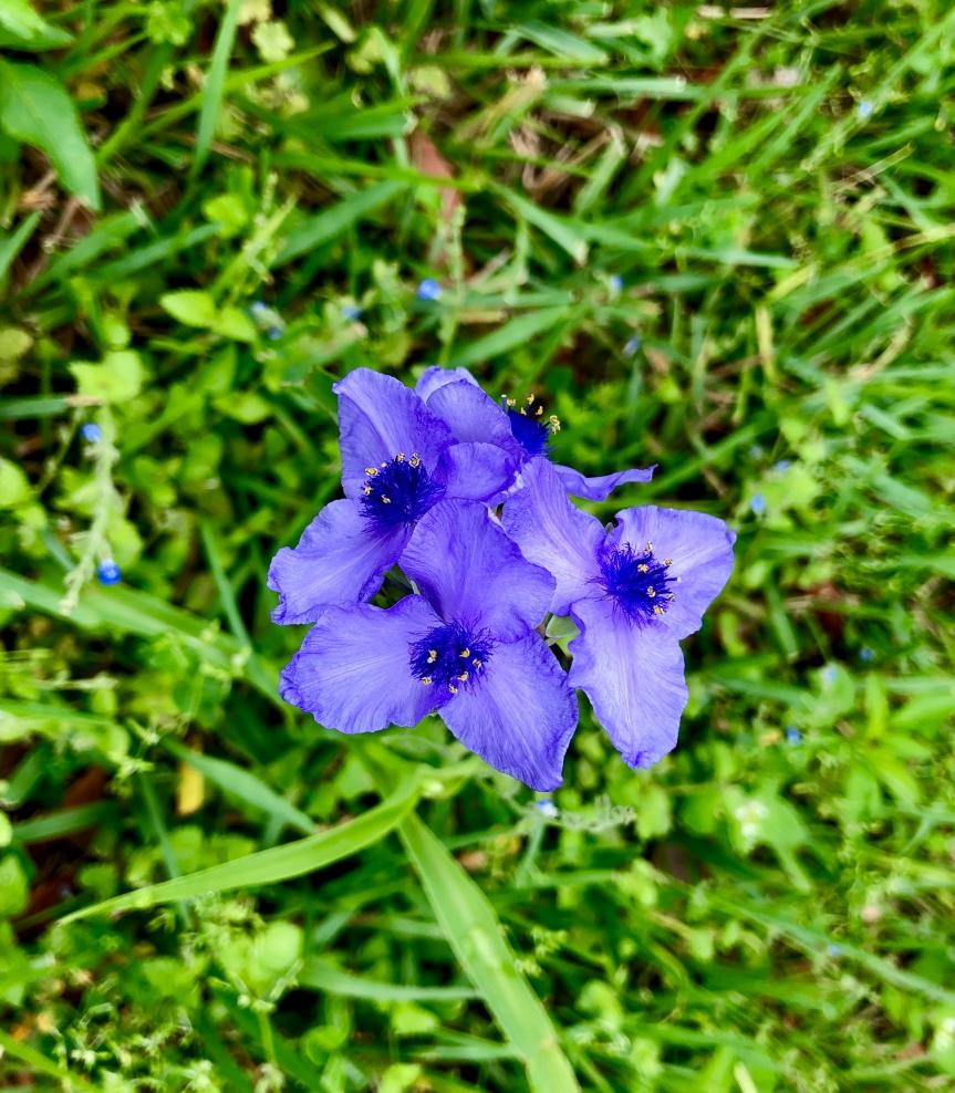 Florida flowers: Spiderwort