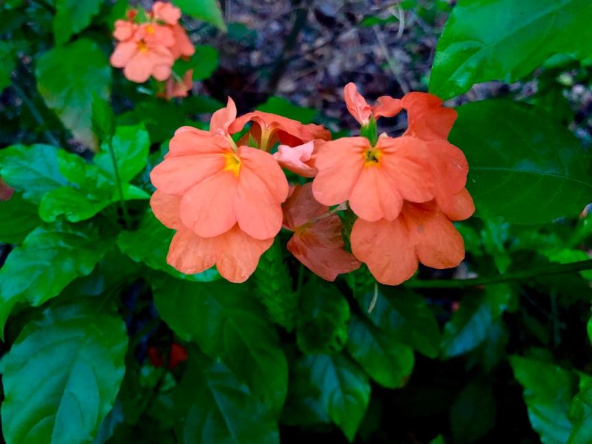 Florida flowers: The unique crossandra/Florida Sunset