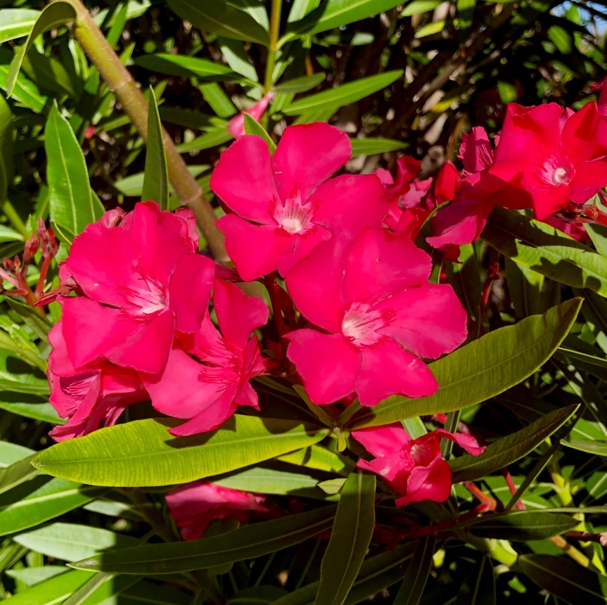 Florida flowers: The ornateoleander