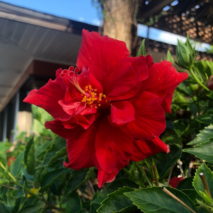 Florida flowers: Beautiful redhibiscus