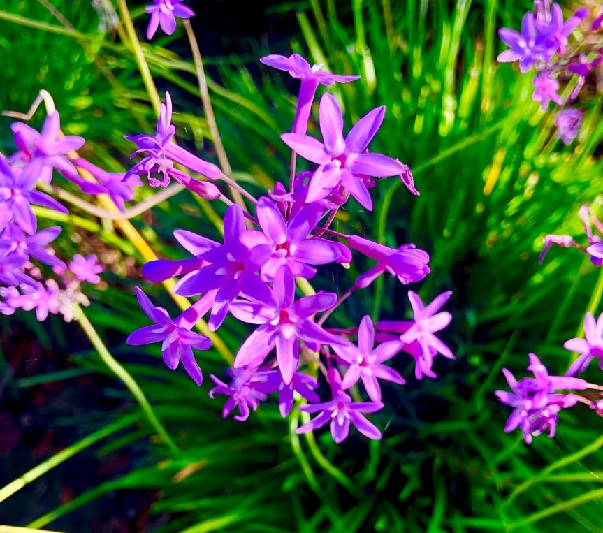 Florida flowers: Ixioliriontataricum
