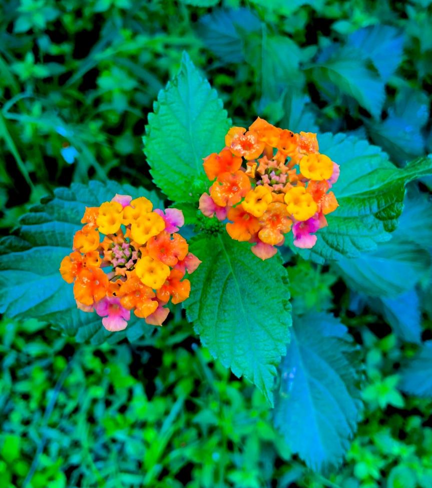 Florida flowers: Lovelylantana