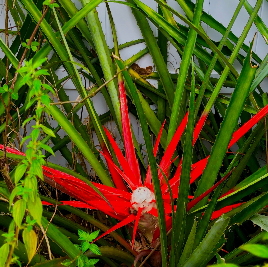 Florida foliage: Bromeliads, peculiar and kindafreaky