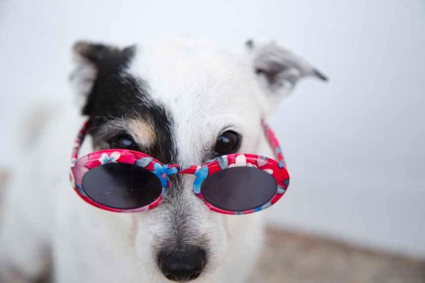 white dog wearing sunglasses