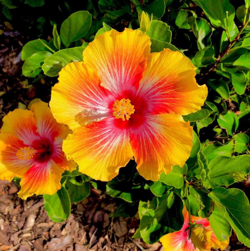 Florida flowers: Shoeblackplant hibiscus (and my little coronavirusupdate)