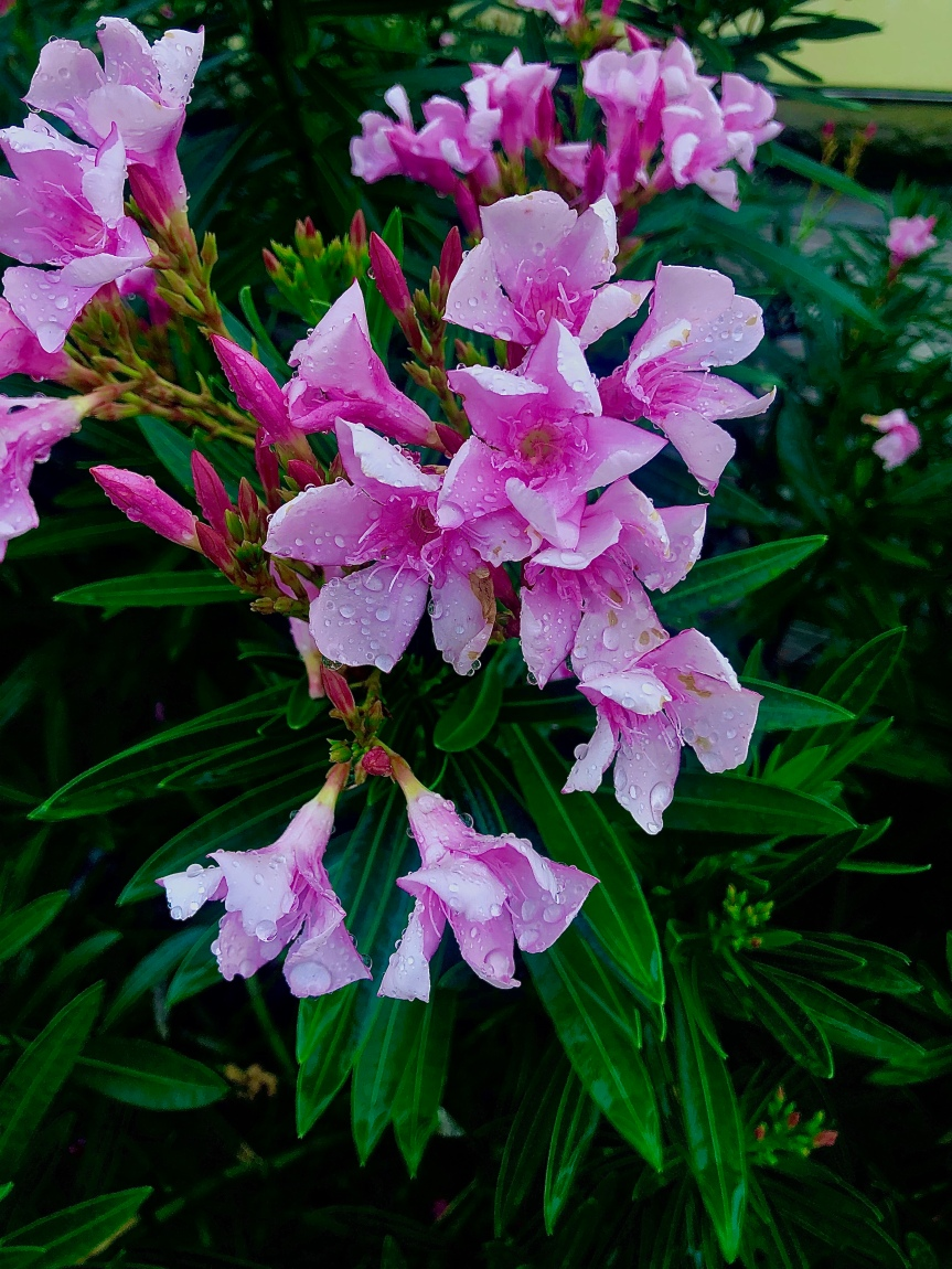 Florida flowers: Opulent and ominous oleander, after therain