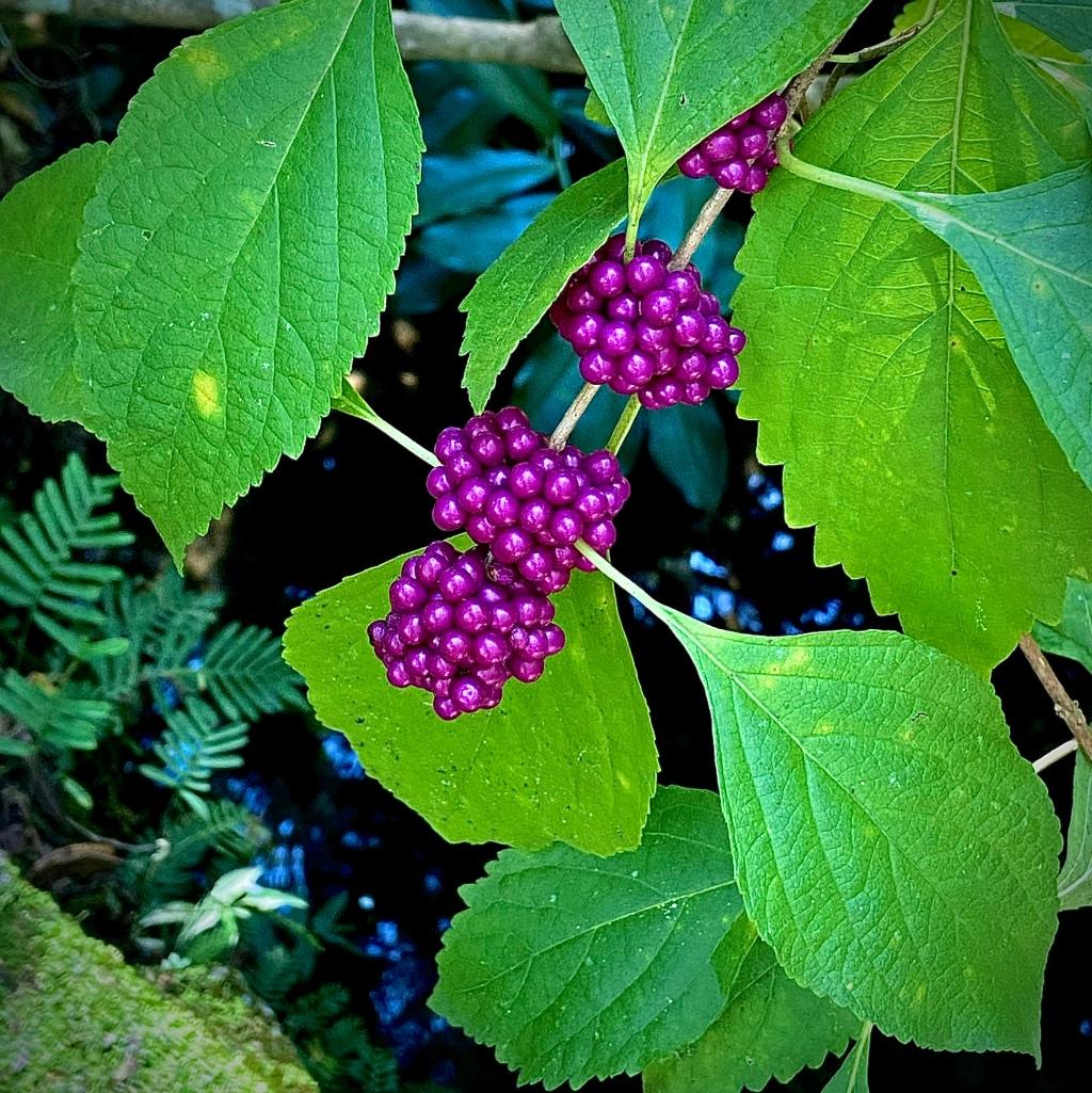 callicarpa americana or beautyberry.