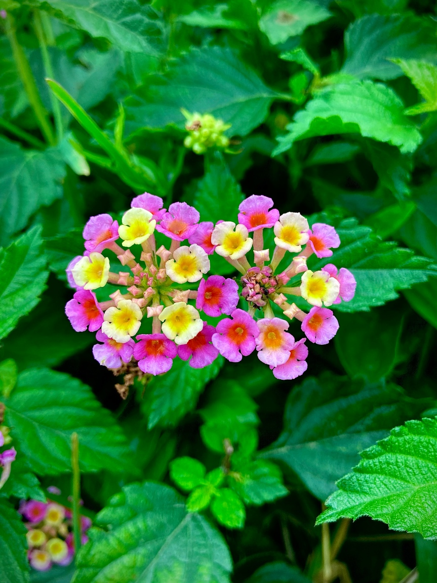 """Wildflower Wednesday: Lively Lantana in the Florida """"winter"""""""