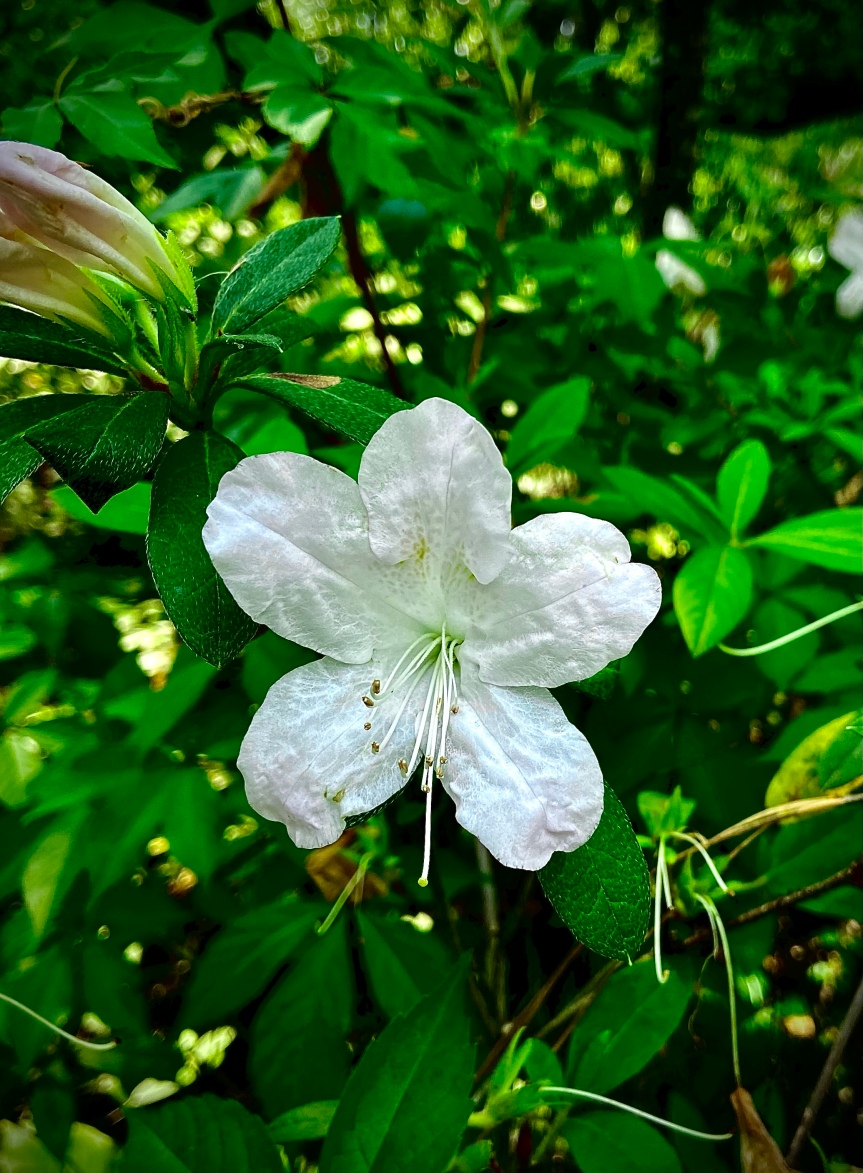 Snow White Azalea Wednesday: Mood boosting Floridaflowers