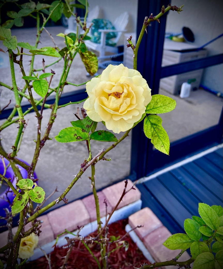 Moody Monday: Garden roses, mental health and Floridaliving